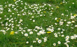 Heuschnupfen und Gaensebluemchen