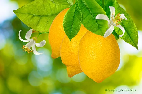 Frische Zitronen für das Zitronen-Honigwasser